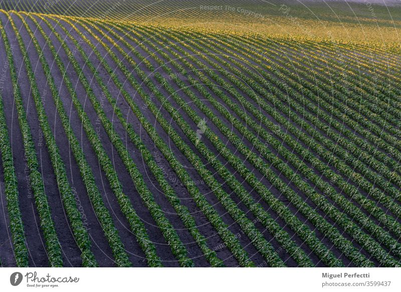 Rows of crop plants on a small hillside at sunset field agriculture landscape growing nature harvest rural farming food green spring sky soil countryside plowed