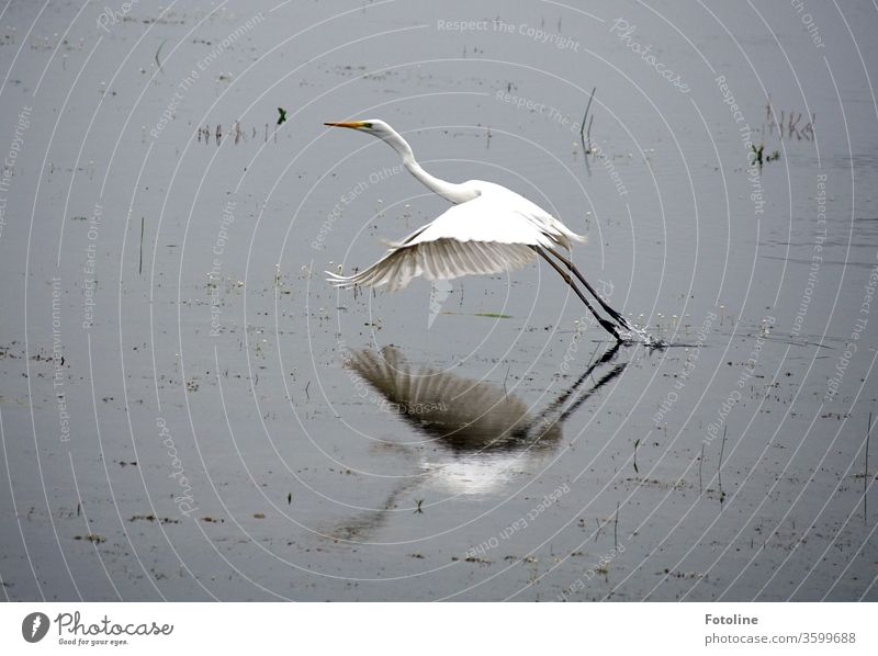 pure elegance - or a Great White Egret flying away after a delicious breakfast. Heron Great egret birds Animal Nature Colour photo Exterior shot Deserted Day 1