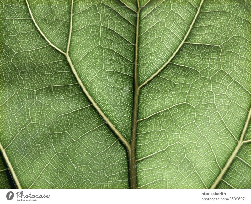 Detail of a green Ficus leaf in full size ficus Violin fig flaked Rachis backgrounds textured Plant Pattern Beauty in nature Botany Close-up fragility