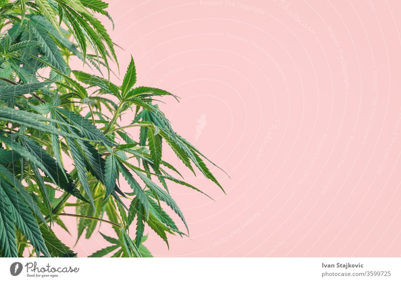 Cannabis plant, branches of marijuana against pink background abuse colourful hemp addiction beauty herb growth floral graphic decoration joint cannabis