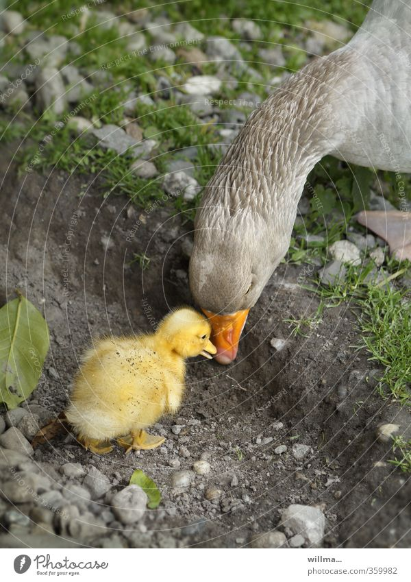 Goose chick with his mama Animal Farm animal Chick 2 Baby animal Animal family Touch Communicate Together Curiosity Cute Emotions Trust Protection