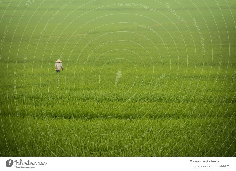 A rice farmer walking among the fog covered vast ricefields in Ninh Binh, Vietnam rural life in vietnam vietnamese countryside ninh binh minimalist landscape