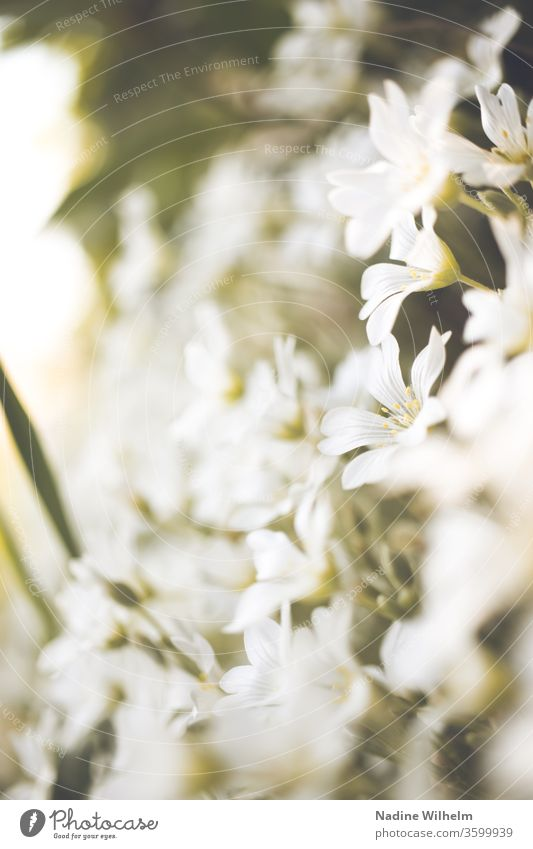 White sea of flowers bleed Close-up spring Nature Plant already green Garden Blossoming Summer Colour photo Deserted Exterior shot Blossom leave Detail