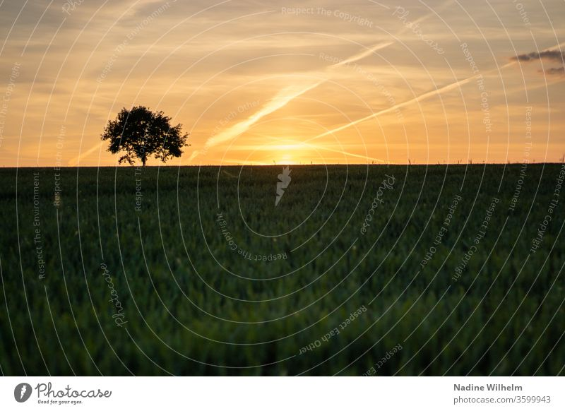 Lonely tree at sunset Sunset Sky cloud Clouds Field Wheat Wheatfield Summer Colour photo Nature Exterior shot Grain Landscape Blue Deserted Agriculture