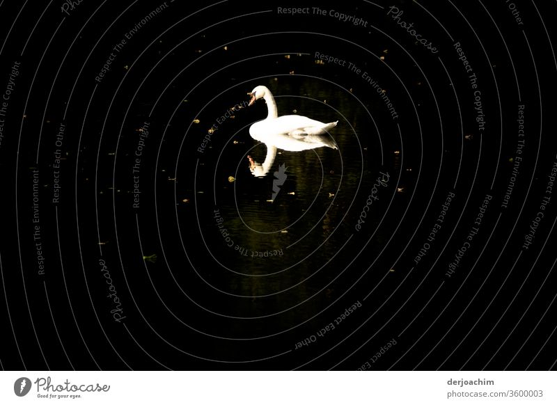 White swan on dark water... ( with reflection ) Swan Nature Exterior shot Water Colour photo Deserted Environment Animal birds Day natural Wild animal