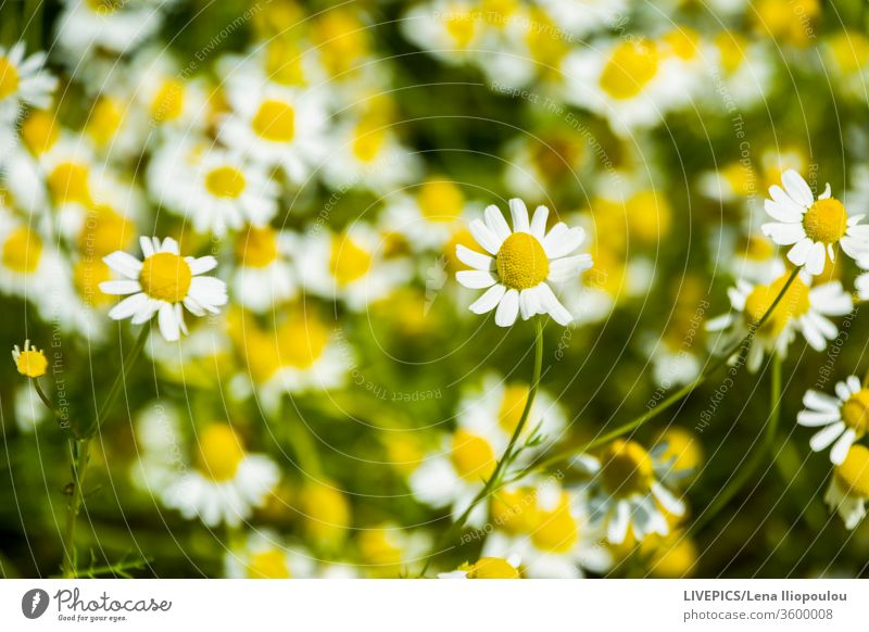 Close up on a camomile flower Asteraceae Chamomile chamomillae close up colorful colors copy space day daylight detail green landscape matricaria recutita
