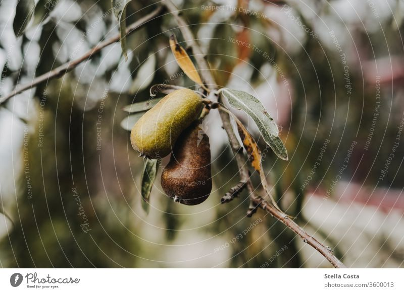 Detailed view of a pear tree fruit Pear Growth Healthy Nutrition Food Colour photo green Delicious Fresh Organic produce Healthy Eating Nature Agriculture