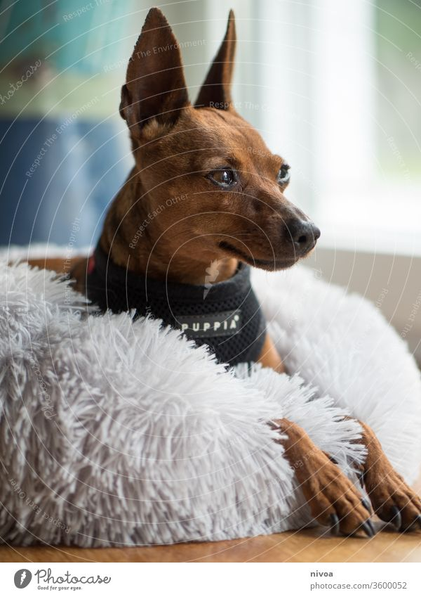 Rehpinscher Dog Bed lay Animal Pet Day Friendship Small Cute Relaxation Colour photo Interior shot Beautiful Animal portrait 1 Love White Friendliness Purebred