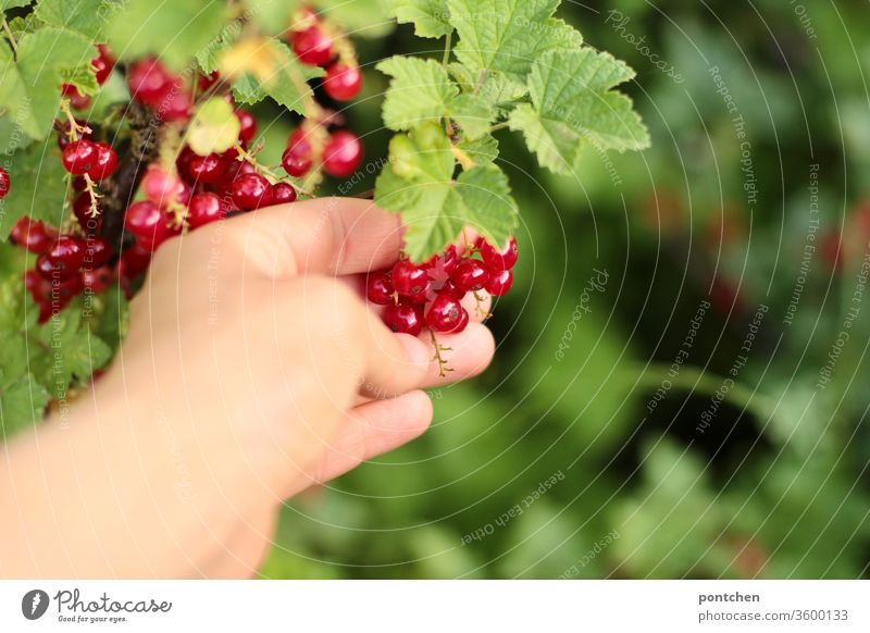 Hand picks ripe currants from the bush in the garden. Harvest. Pick Redcurrant shrub Berries salubriously Vitamin C Gardening self-sufficient love of gardens