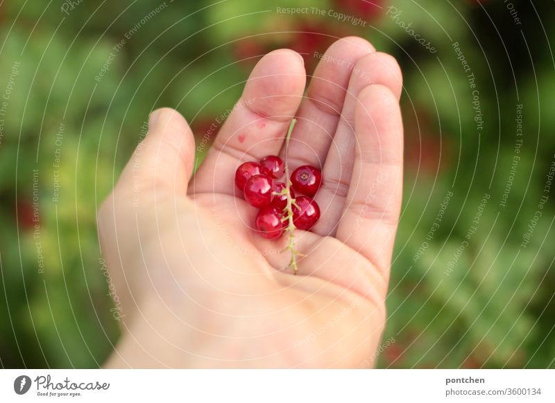 Freshly picked - Hand holds currants in the garden Redcurrant salubriously habd Pick Garden Domestic farming fruit Berries Sour Food Harvest Mature Fruity
