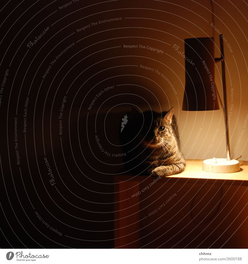 Waiting for enlightenment Cat Illuminate Light Shadow Animal Looking Deserted Bedside table Lamp Penumbra Warmth Interior shot Pet Artificial light hangover