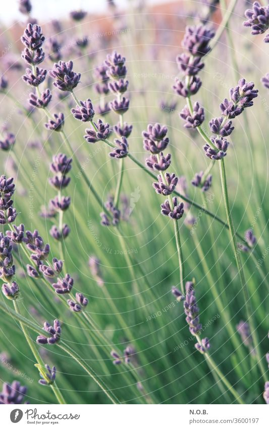 Lavender upright Plant bleed Violet Fragrance Nature flowers Colour photo Summer Shallow depth of field Exterior shot Day Blossoming green Deserted