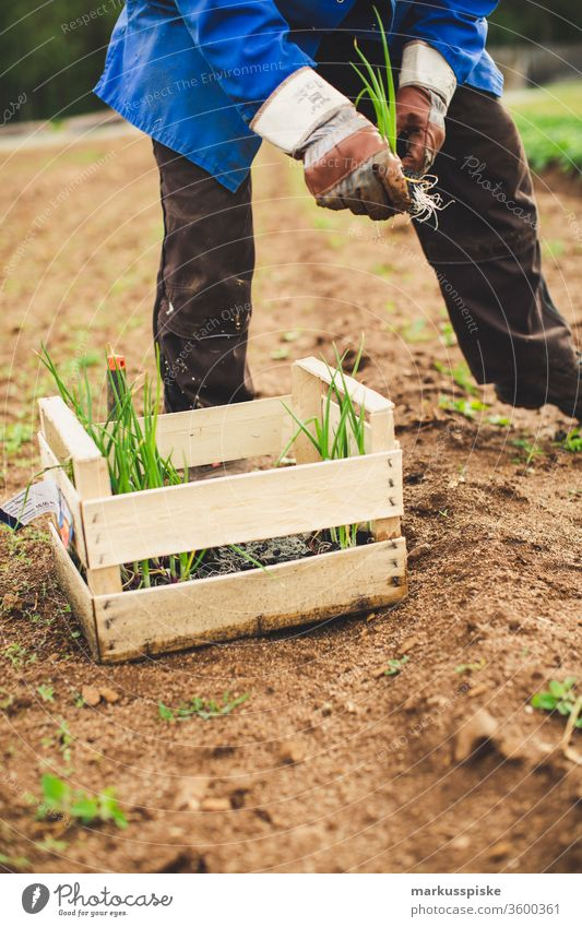 Planting organic spring onions Garden Vegetable self-sufficiency Garden Bed (Horticulture) Spring onions Leek vegetable grow planting self-sufficient Field