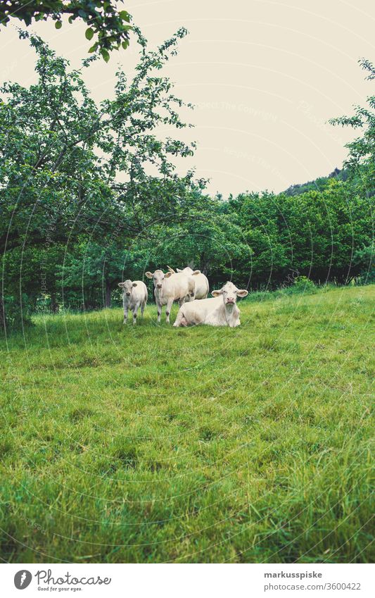 Cow pasture Willow Charolais French Cattle breed cattle Willow tree cow pasture grasses Agriculture dairy Milk production eating