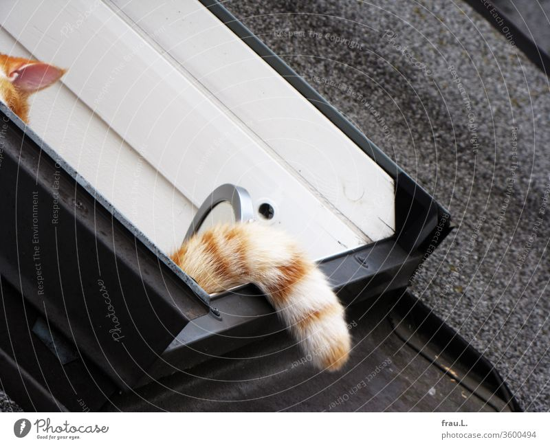 The red and white tomcat thought he was well hidden in the skylight. hangover Pet Exterior shot Tails Ear Window Roof