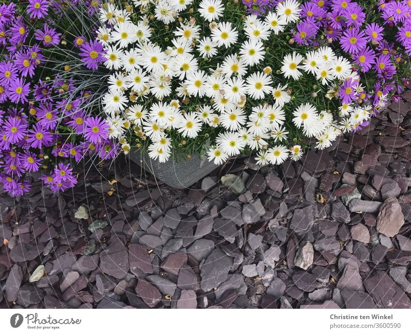 Pretty Australian daisies / Brachysome in blue and white in a plant pot on grey gravel stones seen from above Blue daisy Australian daisy pretty Summerflower