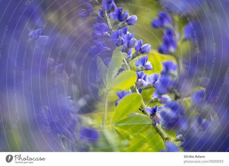 Floral impressions of the indigolupine (Baptisia australis), also called blue dye tube Indigolupine Safflower sleeve Blue flowers floral bleed Soft Delicate