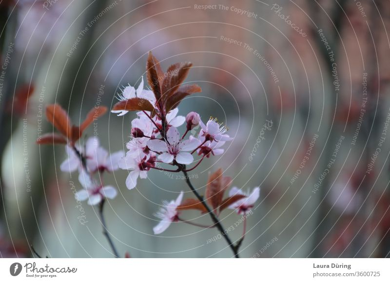 Pink flowers of a blood plum bleed spring Garden Close-up Detail already Exterior shot Esthetic Beauty & Beauty natural Fragrance Delicate Fine Nature Life