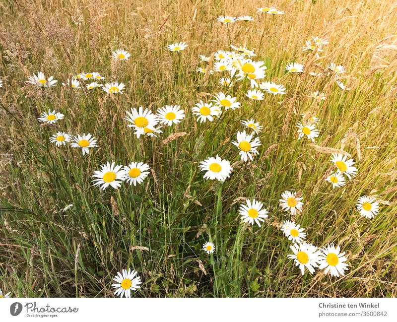 Meadow daisies stand on a dry and not mowed meadow marguerites daisy meadow Plant flowers wild flowers meadow flowers Summer bleed Blossoming Nature grasses Dry