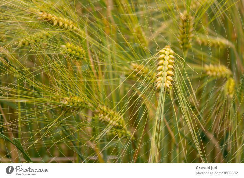 Waving grain Grain field corn stalk Summer Summery Field field flora panic summer feeling billowing grain Ear of corn spike field Agriculture agricultural land