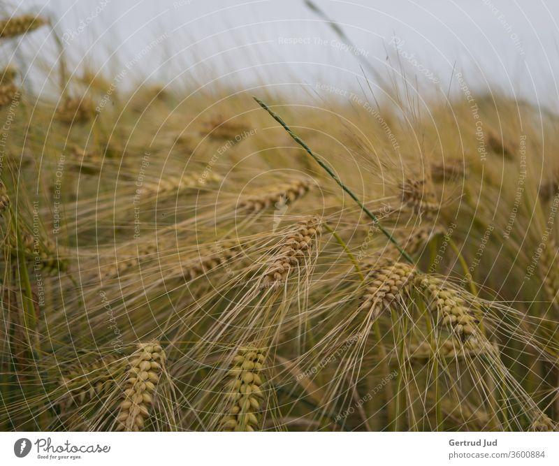Summer cornfield Grain field corn stalk cereal stalks Summery Field field flora Crops risp summer feeling billowing grain Ear of corn spike field Agriculture
