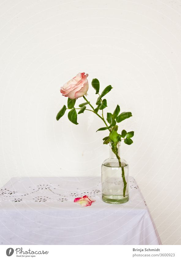 Still life of a beautiful, fragile single pink rose, in a vase against a light background, with two petals falling on the table Bright Fragile Simple