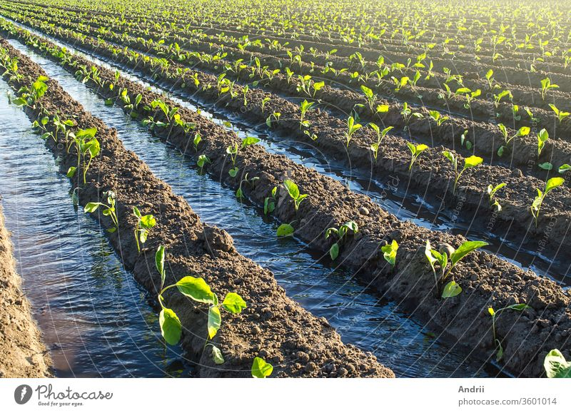 Plantation of young eggplant seedlings is watered through irrigation canals. European farm, farming. Caring for plants, growing food. Agriculture and agribusiness. Agronomy. Rural countryside