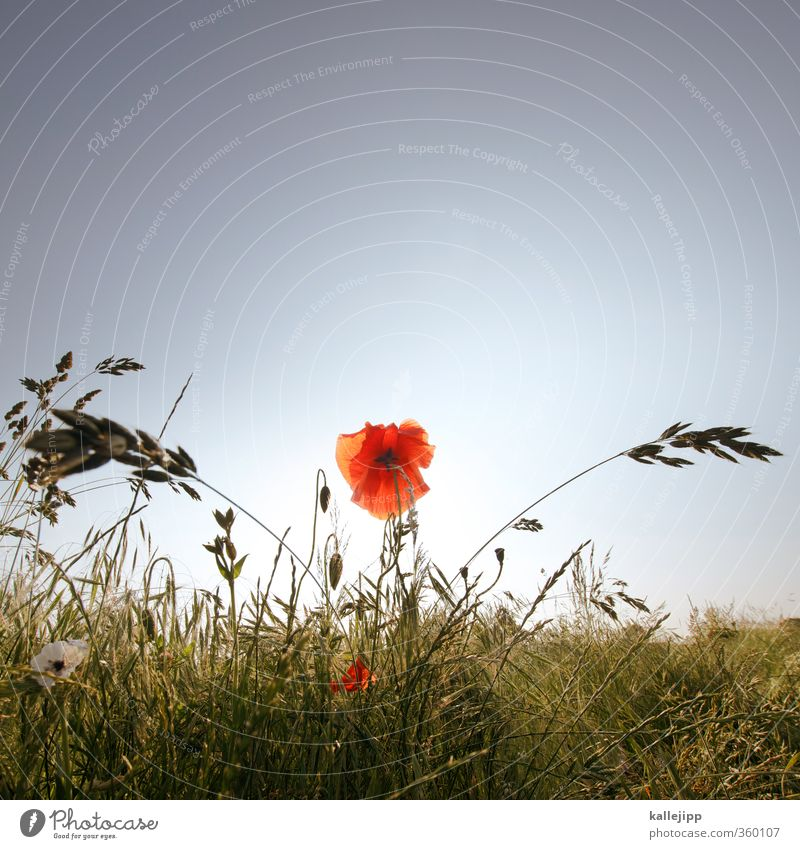 Nature Plant Summer Red Landscape Flower Animal Leaf Environment Grass Blossom Air Field Blossoming Cloudless sky Poppy