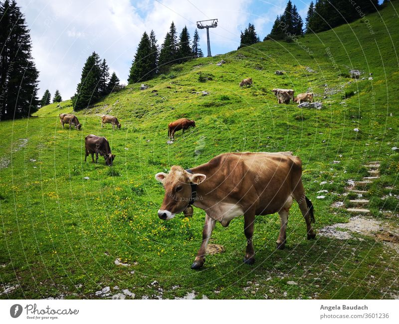 Alpine cattle in the mountains Alpine Cattle rind Kuhkopf chill Bell Cow bell green Meadow alpine alpenglow Wanderlust Hiking hike Nature Vacation & Travel