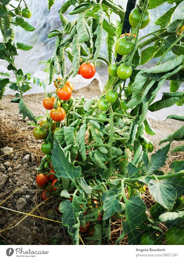grow your own organic vegetables: tomatoes Tomato tomato plant Tomato plantation Garden Vegetable garden vegetable gardening Vegetarian diet Organic produce
