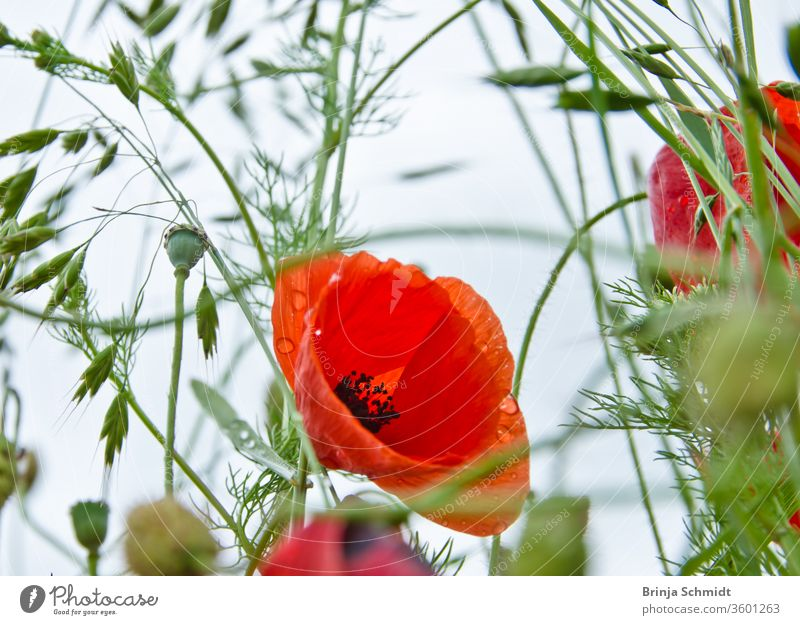 The bloom of a beautiful red poppy in a wildflower meadow from the frog's perspective, biodiversity and species diversity lively corn rose wildflowers vivid