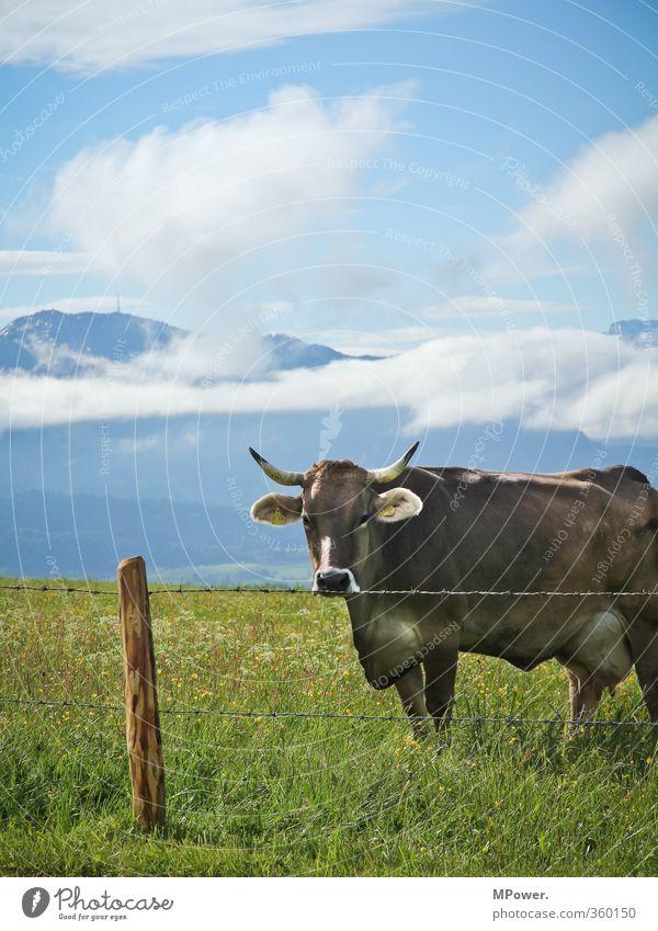 alpen.milk producer Animal Farm animal 1 Wanderlust Voracious Cow Pasture Alps Allgäu Mountain Grass Fence post Barbed wire fence Udder Antlers