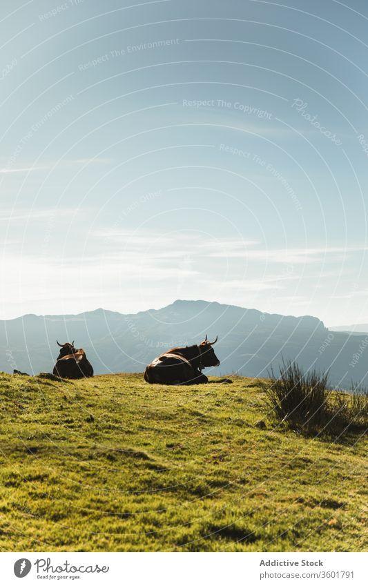 Purebred cows grazing in pasture near mountain under blue sky bovine graze grassland tree animal mammal countryside landscape black nature scenery harmony field