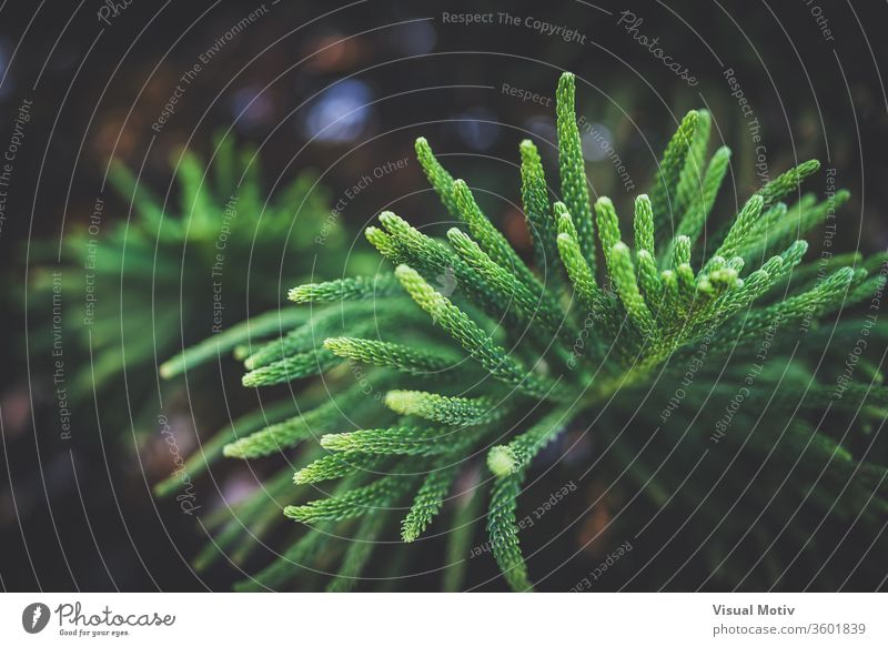 Leaves of Araucaria Heterophylla commonly known as Norfolk Island pine tree leaf coniferous evergreen branch lush plant botany daytime growth flora fresh bright