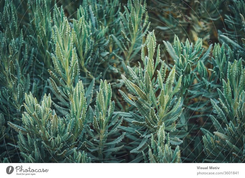 Lush branches of Lavandula Heterophylla, commonly known as Sweet Lavender nature natural plants leaves park garden botanic botanical botany green flora
