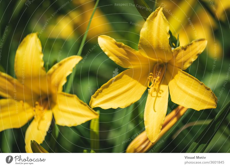 Yellow flowers of Daylily also known as Hemerocallis sp. bloom blossom botanic botanical botany field flora floral petals flowery garden organic natural nature