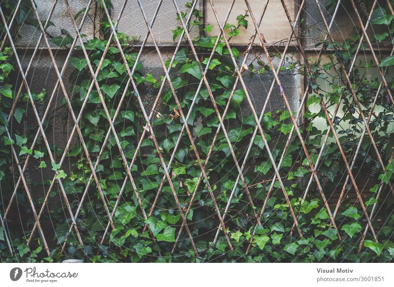 Green ivy plant climbing a window grille of an abandoned old factory lattice overgrown green aged weathered grid glass building flora texture metallic natural