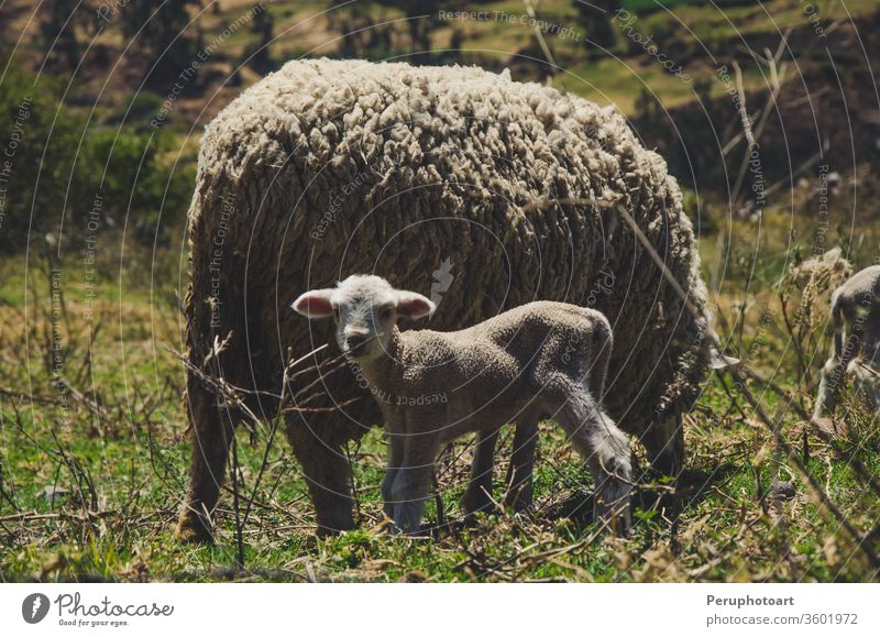 A little sheep and its mother lamb animal farm white nature feeding young background cute blue spring baby fluffy wool livestock sky isolated day field sunny