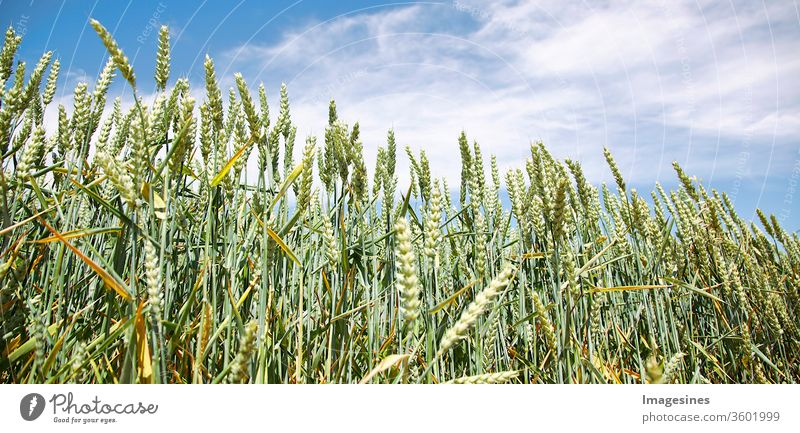 Wheat field against blue clouds - sky. Cultivation of grain - wheat. Concept of agriculture agricultural field Agriculture backgrounds Barley Beauty in nature