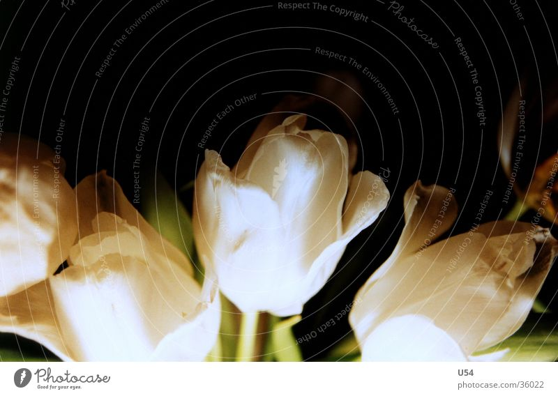 Flower Plant Leaf Blossom Stalk Blossoming Tulip Faded