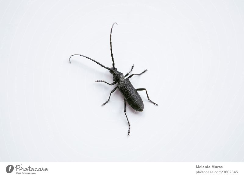 Longhorn Beetle on white background. Macro photography of black insect  with long antennae Saperda inornata. animal beetle borer brown bug close close-up