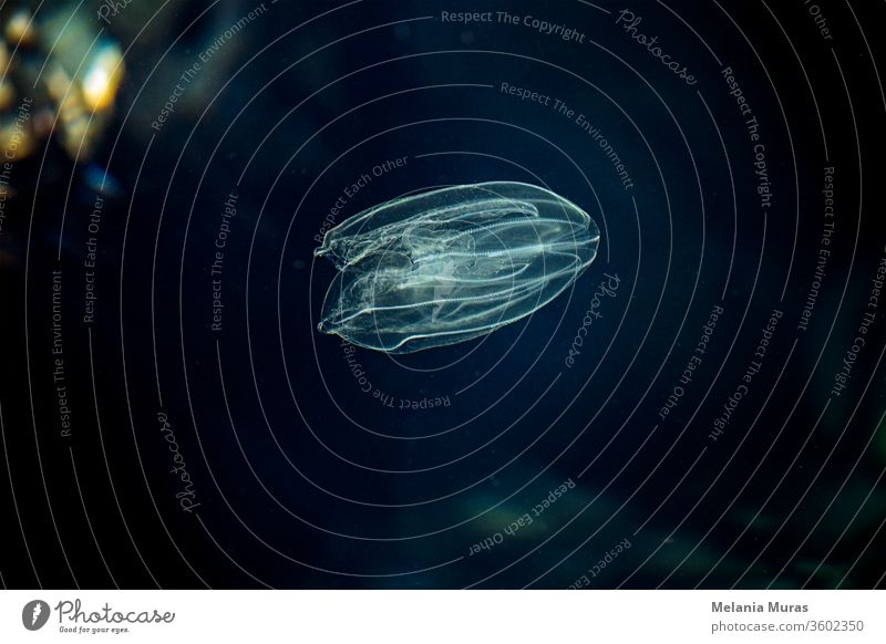 Sea Walnut, American comb jelly, Warty comb jelly or Leidy's comb jelly (Mnemiopsis leidyi). Adriatic sea. A small, transparent sea creature on black background. Tiny jellyfish. Underwater world.