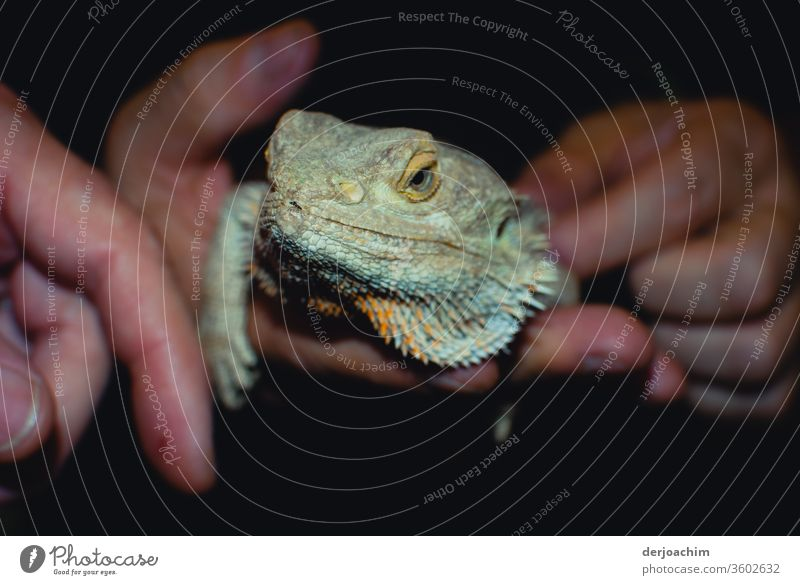 A hand tame iguana. Sits dreamily and calmly in the hand. He looks at the viewer.  They can live up to 25 years. Iguana Colour photo Animal portrait Reptiles