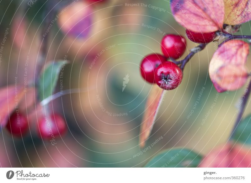 Colourful memories Environment Nature Plant Autumn Weather Bushes Leaf Glittering Round Juicy Dry Green Red Berries Twig Blur Star (Symbol) Rawanberry Gaudy