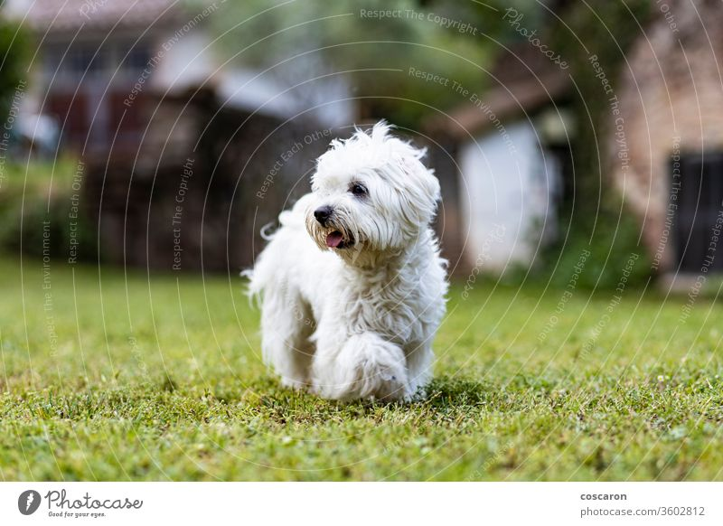 Maltese dog on a spring day adorable animal background beautiful breed canine cheerful cute doggie in motion domestic domesticated forest friendly game grass