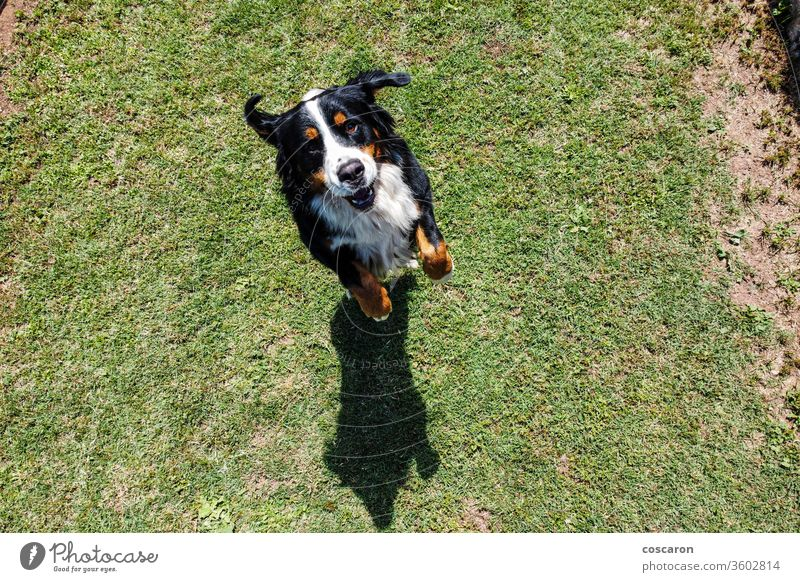 Bernese Mountain Dog jumping. Top view above action active adorable animal background beautiful bernese big black breed canine cute dog domestic enjoy friend
