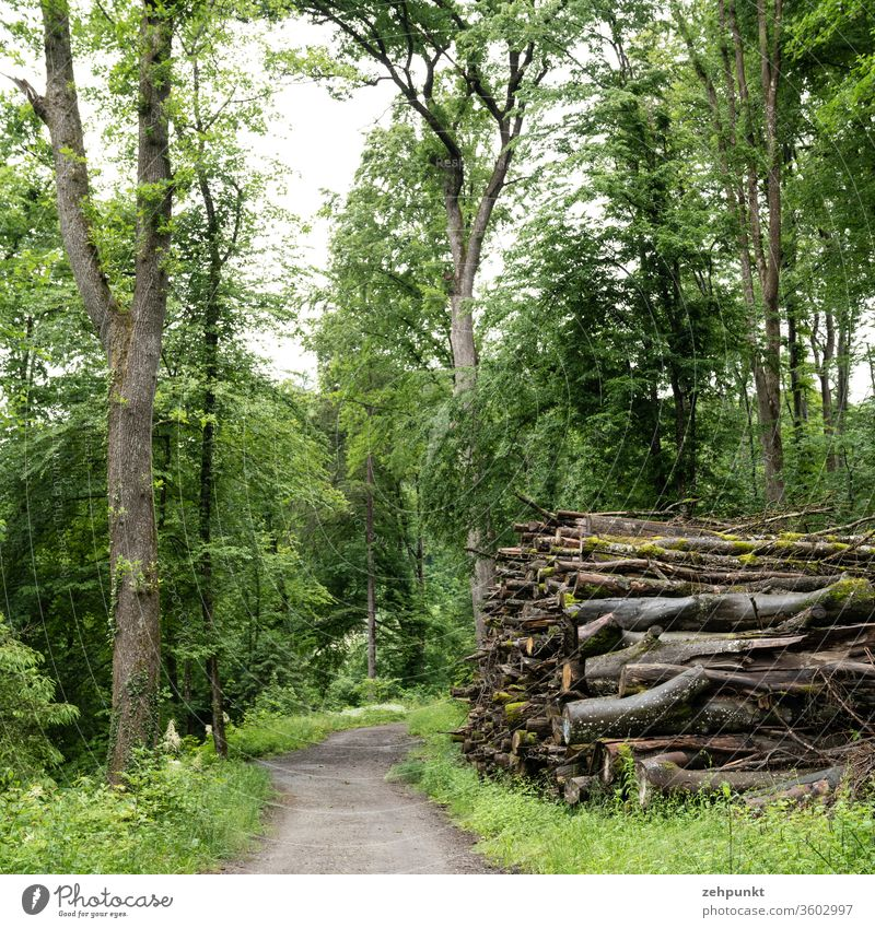 A forest path, flanked on one side by a tree and on the other by a pile of felled trees Stack of wood cut down tree Forest way into the picture green Gray