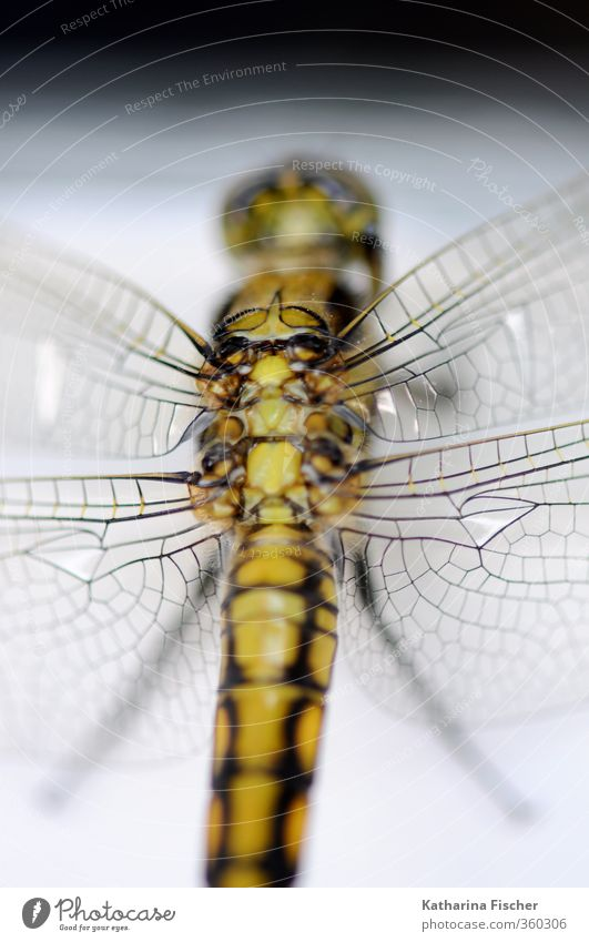 Green Beautiful White Animal Black Gray Brown Gold Wild animal Wing Thin Exotic Dragonfly Miracle of Nature Dragonfly wings