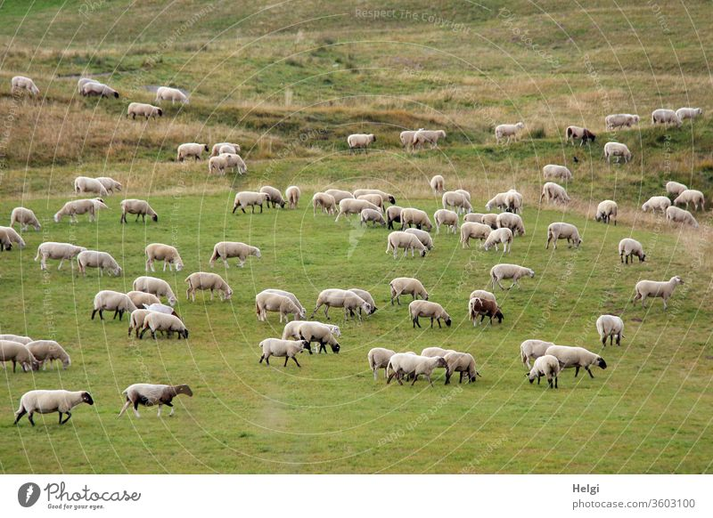 Flock of sheep grazing in a large meadow Sheep Animal Farm animal Herd Group of animals Meadow Landscape Wool Nature Environment Willow tree Agriculture