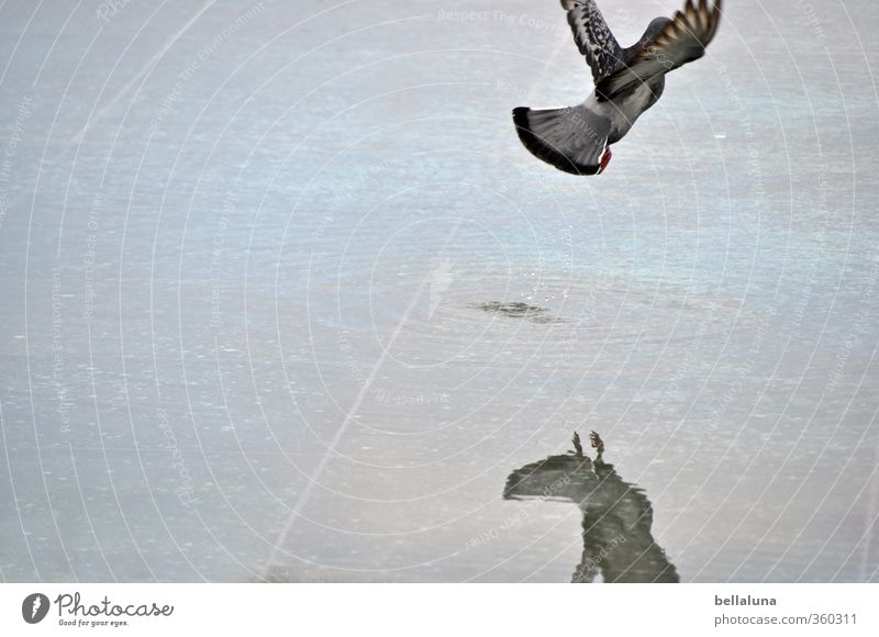 parting Water Animal Wild animal Bird Pigeon Wing 1 Flying Blue Gray Freedom Puddle Colour photo Subdued colour Exterior shot Deserted Copy Space left